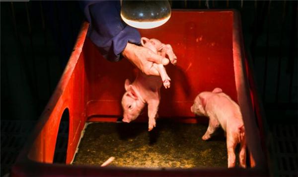 贵州养猪能人花20年研究出一套独家养殖秘方,每年轻松获利200万!!
