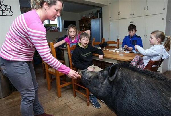 """养猪在家作为宠物,还可以做家务,这样的""""二师兄""""要不要来一打"""