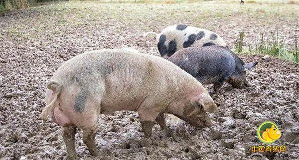 农村养猪要纳税?农民老张用这招既不交税,又让自己得到了实惠!