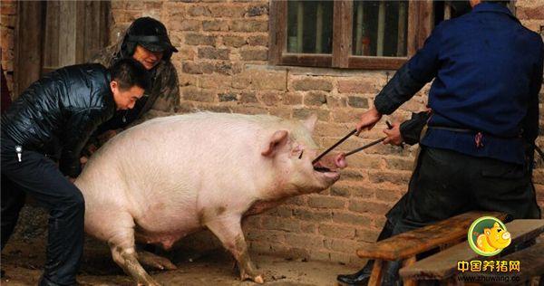 生猪价格下跌,真熬人,该出栏还是继续养着,你养猪赚钱了吗?