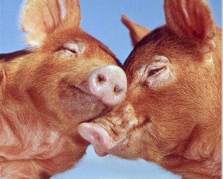 猪价跌入阶段性底部,夏季断档期?不存在的!