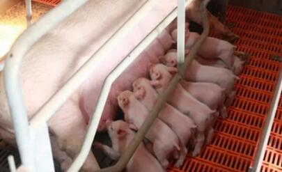 猪场母猪营养不均衡,教槽喂得再好也没用!!!
