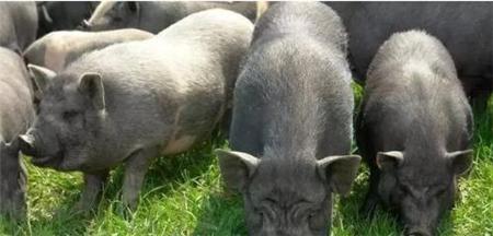 生猪产能处高位 预计今年猪价总体处周期性下降...