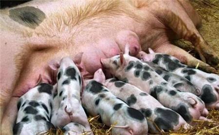 养猪场仔猪拉稀损失最大的三种疾病,养猪人告诉你办法...
