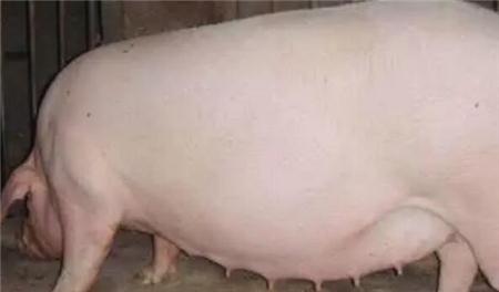 治疗母猪便秘产品评判的标准你知道么?