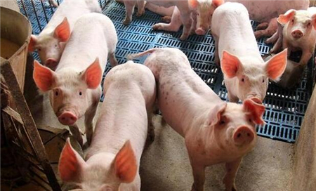 猪咳嗽,呼吸困难是这么回事?有可能是气喘病!