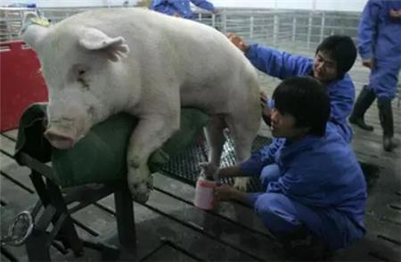 """猪用""""充气娃娃"""",种公猪养殖必备神器!"""