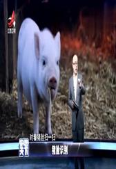 猪脸识别:开始步入智能化养猪...