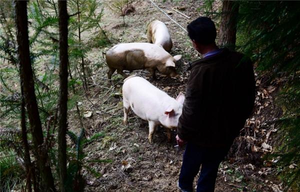 农民不甘平庸,把猪赶上大山,这下他赚翻了!