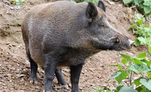 海南59岁大叔在家养野猪年入30万,女儿帮了大忙