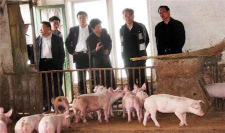 历年猪价最长低谷期,规模场和小散户是如何应对的?