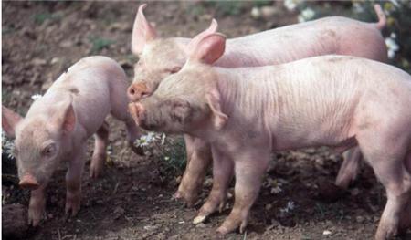 2018年04月20日(15至19公斤)仔猪价格行情走势