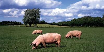 不亏反赚!顺应当前猪价的三种养猪模式,你会选哪种?