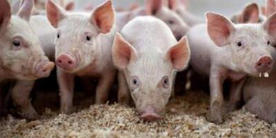 全国猪价续跌不前,养猪人养的越多亏得越大!