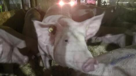 进口猪脱贫靠谱?四川首次直接从美国引进990头种猪...