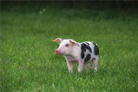 2018年04月21日(10至14公斤)仔猪价格行情走势