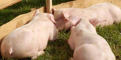 猪周期低谷或持续到2020年 养殖业需抱团取暖!
