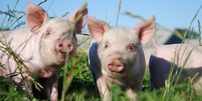 当前猪价二次探底,五一猪价如何走?
