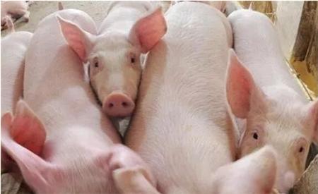 """新形势、新要求""""的洗礼 猪价下行的幅度也有限!"""