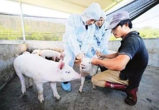警惕伪狂犬的这些新临床症状!选择和使用疫苗时要注意……