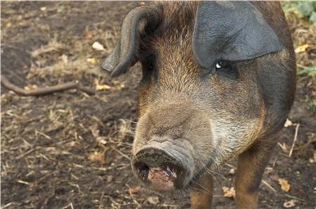 猪价低迷,别再被母猪的假怀孕骗了你的眼睛!