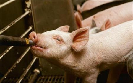 猪价若再下跌,国家或重启动能繁母猪100元/头补贴预案!