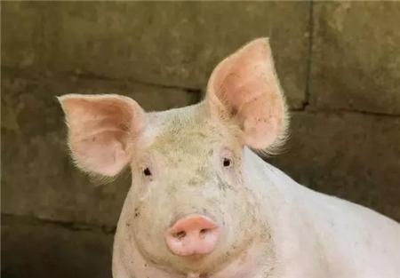 2018年,可能比2014年更惨!养猪有史以来最危险的一年!