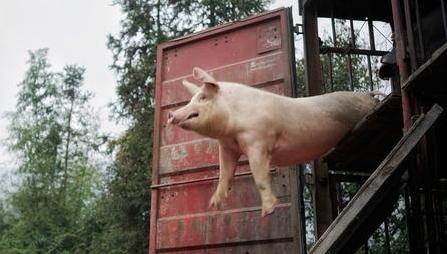 养猪户注意啦,七个方法给你的猪场除臭!