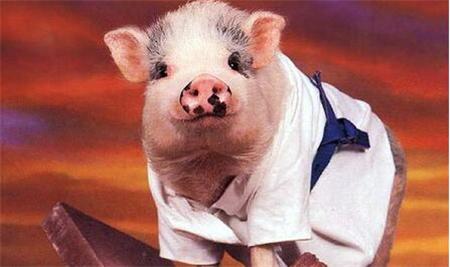 育肥猪饲养管理,99%成活率不是事?