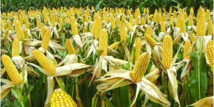 玉米市场格局逐渐发生变化 价格能否调控到预期范围