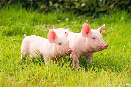 2018年04月24日(10至14公斤)仔猪价格行情走势