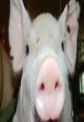 老猪倌养的仔猪又大出栏又快,原来他的秘诀在这里!