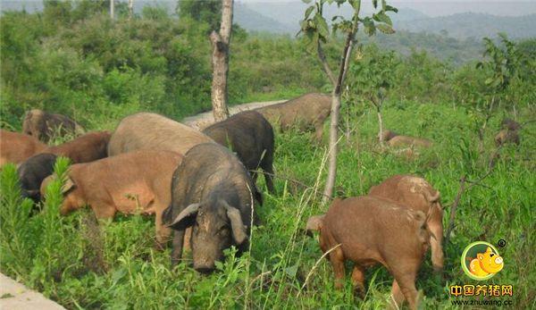 你养猪为什么不赚钱,具体什么原因,你真的了解吗?