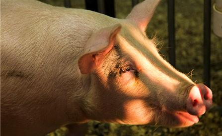 """消费端萎靡, 芬兰猪肉来势汹汹,""""逢节下跌""""魔咒又将来袭?"""