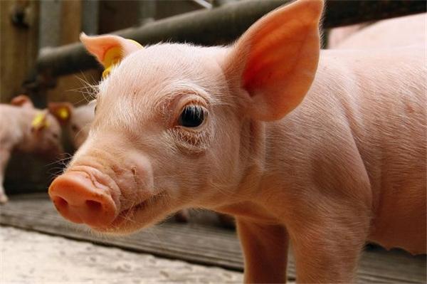 最近这只宇宙网红猪爆红,但养猪人却不知道它的来历?