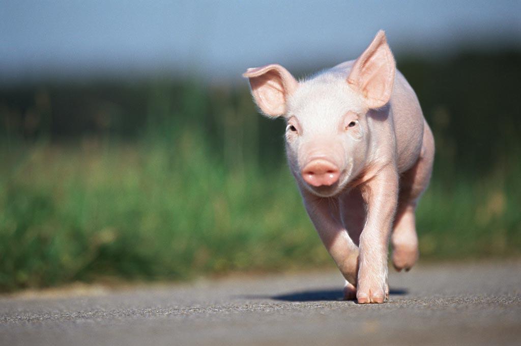 环保调减生猪2300万头、规模化率58%后,未来10年将这样规划养猪业