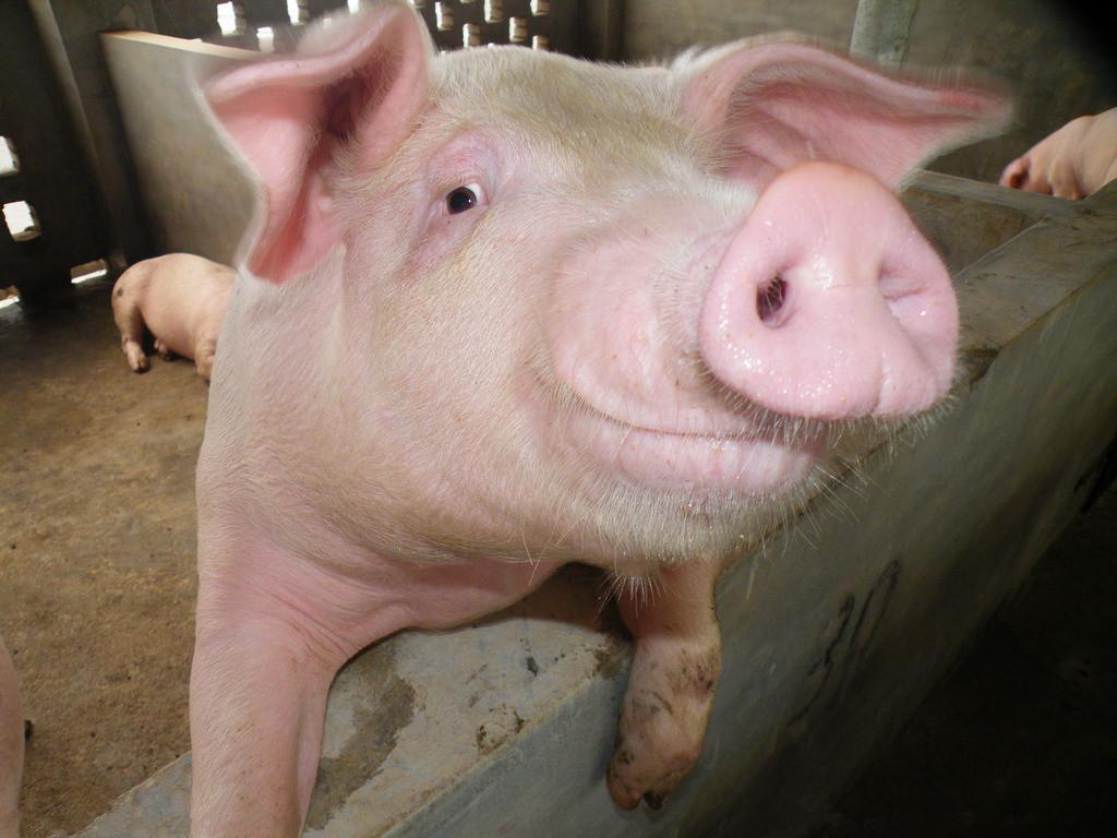 面对猪价如果你真的绝望了,就差不多快有希望了!