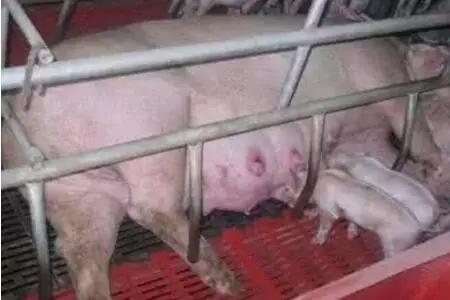 猪场母猪产仔少?这9大原因是罪魁祸首!