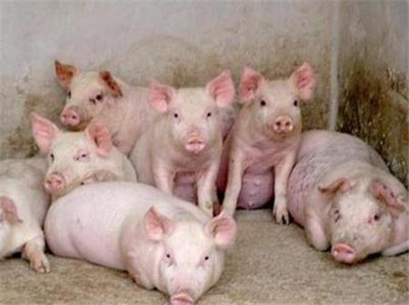 终于知道了他的猪场疾病少的原因!