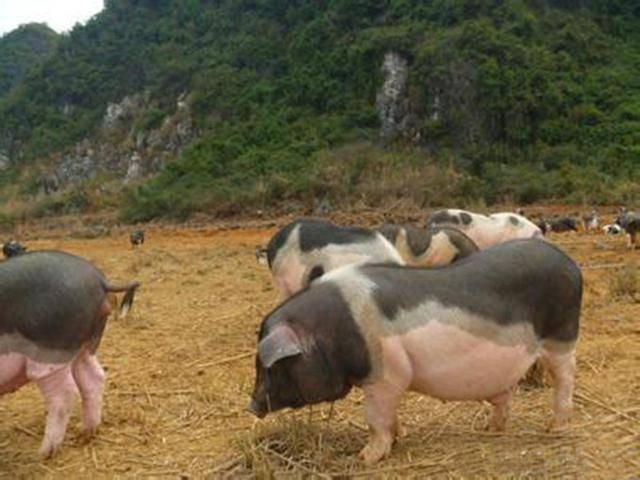 78%猪场已陷入亏损,猪场如何扛过这波低谷!