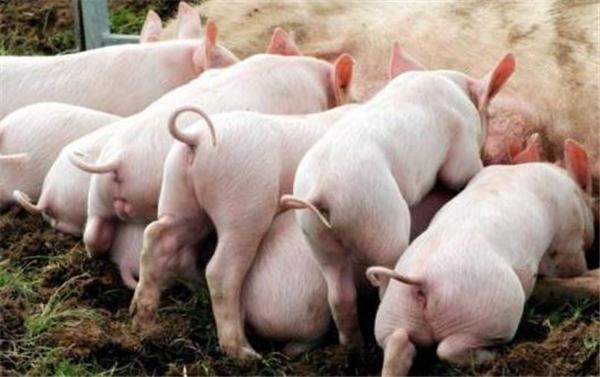 猪场里面,现在养母猪能挣钱吗?
