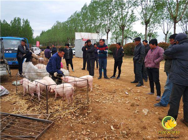 """今年农村最热的话题""""养猪"""",一头小猪卖800,很多养殖户赔哭了"""