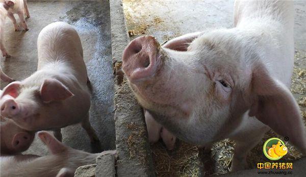 湖北宜昌:乡村养猪能手严秀丽,自办小型养殖场,去年挣2万多元