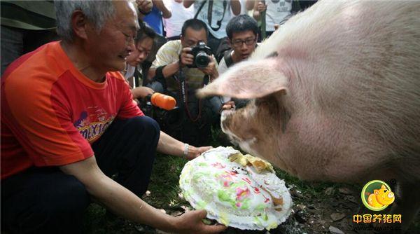 88岁猪爷专人伺候定期保健开生日晚会,网友:做猪做到这份上,值!