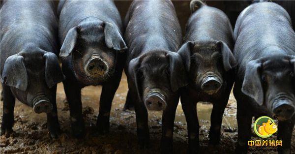 农村家庭靠养猪赚的盆满钵满,很多农户却学不来,主要货源难搞