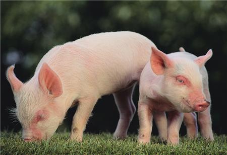 2018年04月26日(20至30公斤)仔猪价格行情走势
