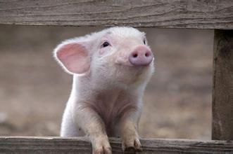节日利好或是利空?五一将要来临,猪价能涨上去么?