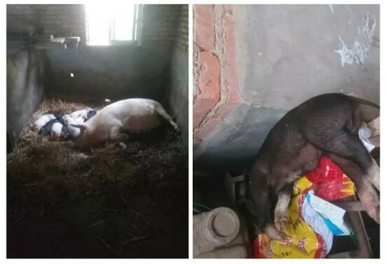 为什么仔猪看着好好的,无征兆的突然就死了?