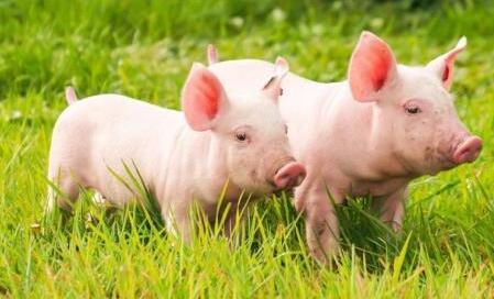 """生猪存栏居高不下!猪肉产能遭遇""""良性过剩""""!"""