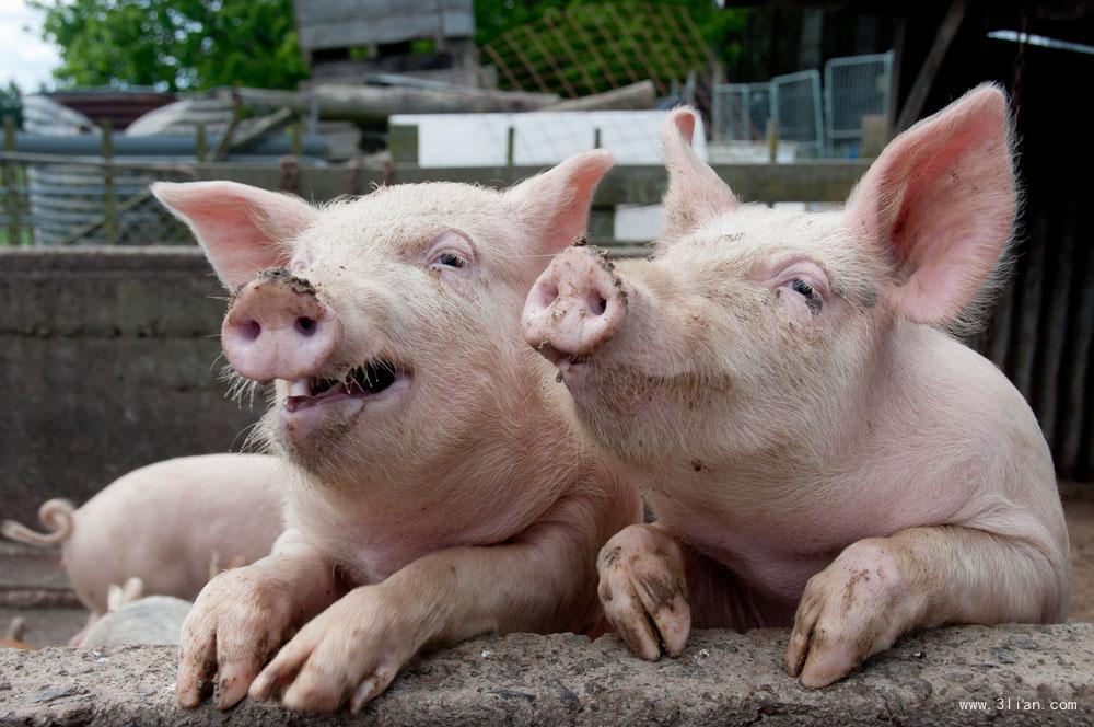 得益于猪价低迷,双汇一季度营收120亿净利暴增21%!